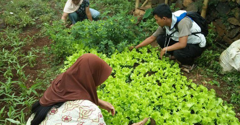 lumbung desa, panen, panen sayuran organik, kelompok wanita tani, ciwangi garut