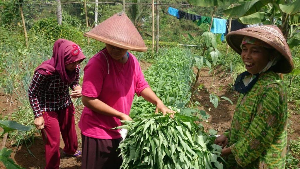 lumbung desa, cigalontang, kangkung, organik