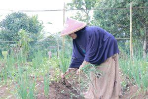 desa, zakat, petani, pertanian, lumbung desa, petani wanita, sayuran organik, demplot, pertanian, lumbung desa, cigalontang