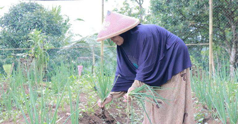 petani wanita, sayuran organik, demplot, pertanian, lumbung desa, cigalontang