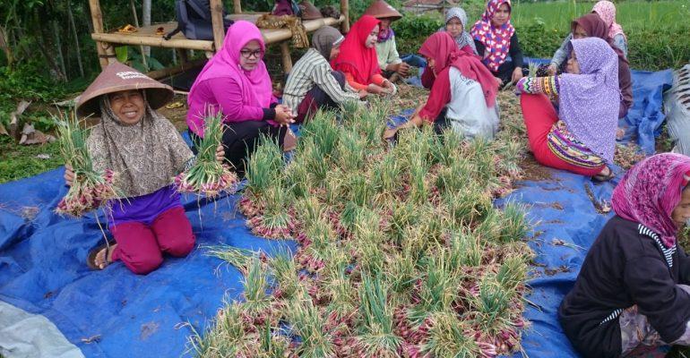 panen, bawang merah, lumbung desa. petani